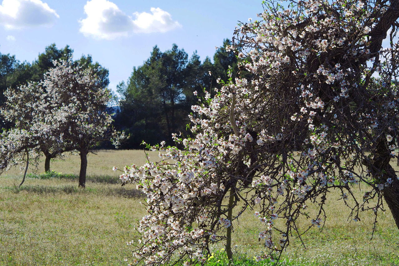 The Almond blossom signifies the coming of spring as the days get longer and warmer