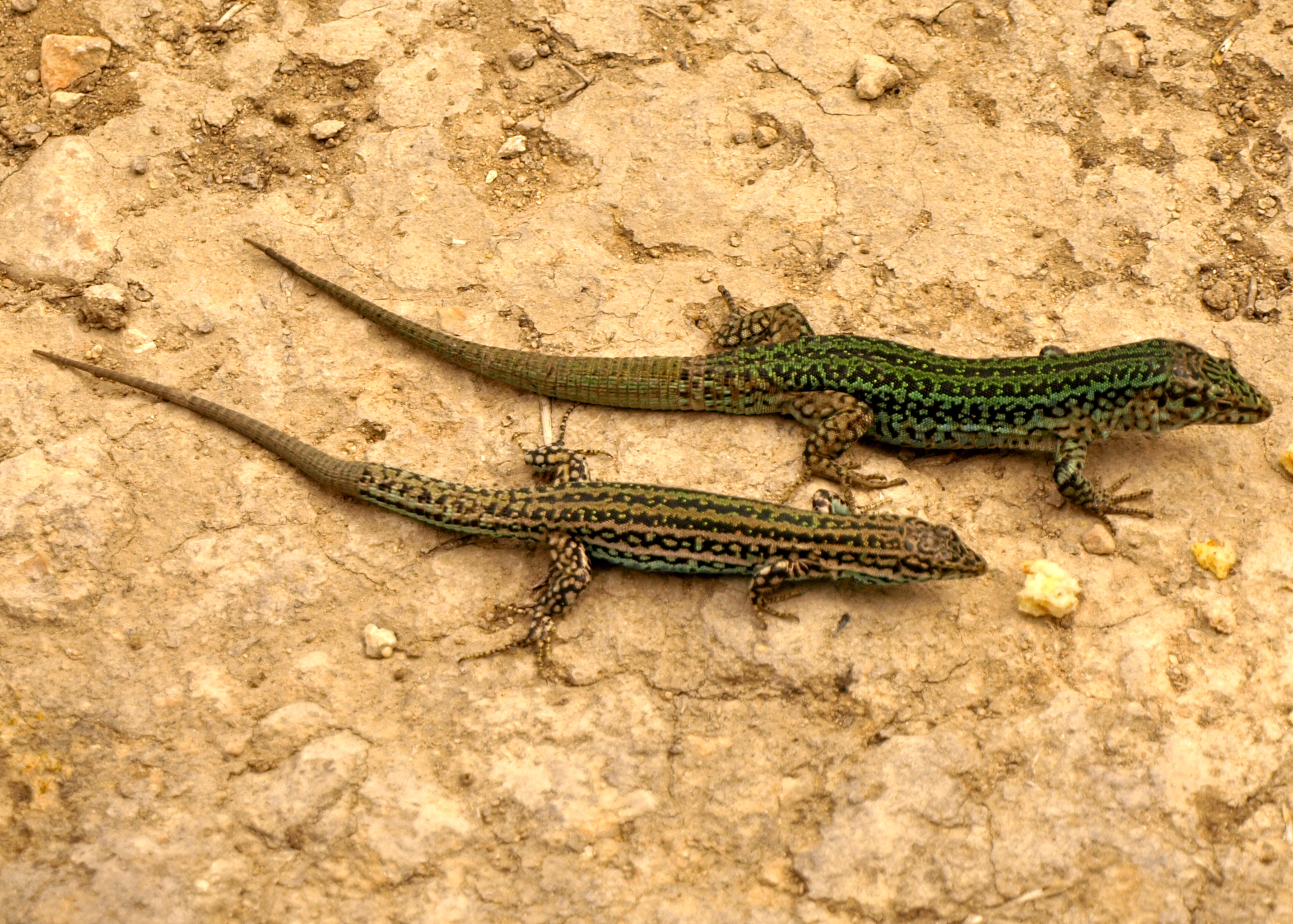 The Ibiza Wall Lizard the most famous of the islands creatures