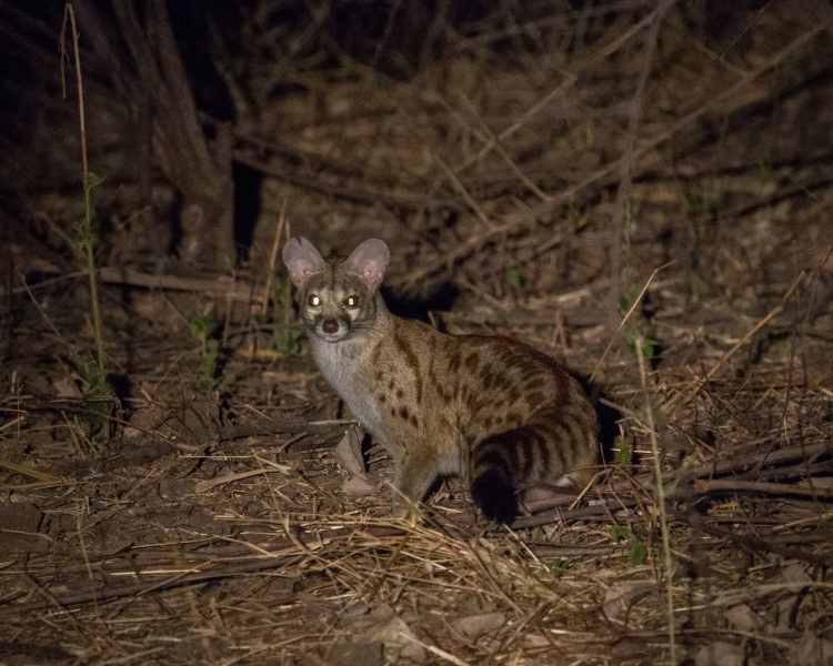 The very rare Genet a wild cat like creature found on Ibiza